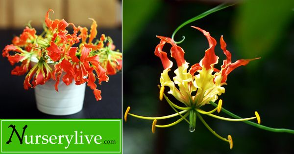 Glorissa Flame Lily : Lily That Adds U0027full Of Gloryu0027 To Your Home Garden