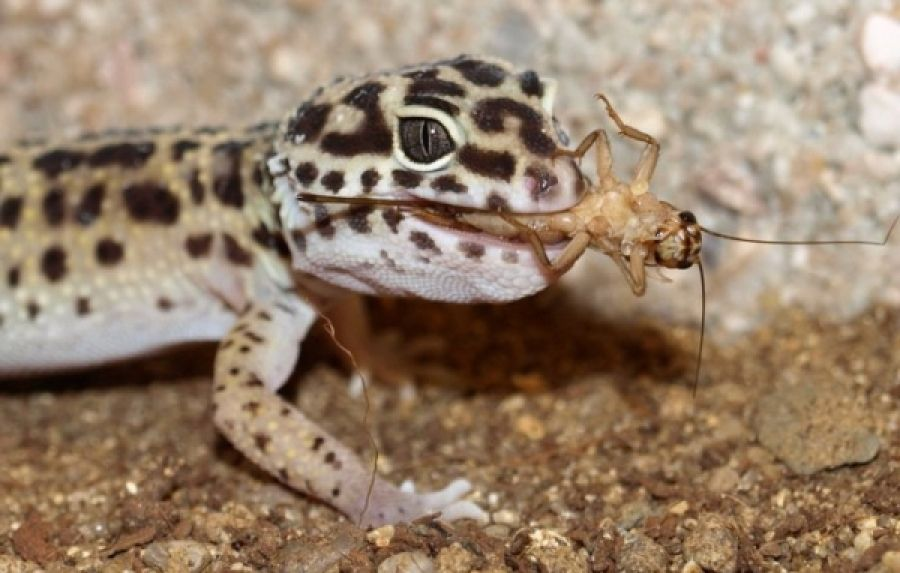Leopard Geckos Lifespan Feeding And Lifecycle All About