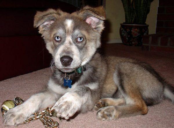 Husky Rottweiler Mix Puppies For Sale Zoe Fans Blog Rottweiler
