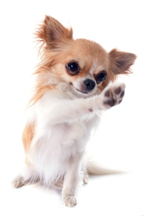 Dog Paws Chihuahua Dog Paws Why You Should Often Care For Your Dog S Paws Baby Dogs Chihuahua Puppies Cute Chihuahua