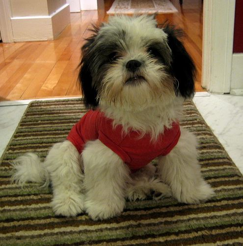 Take Care Of A Shih Tzu Cute Little Animals And Ideas For My Pets