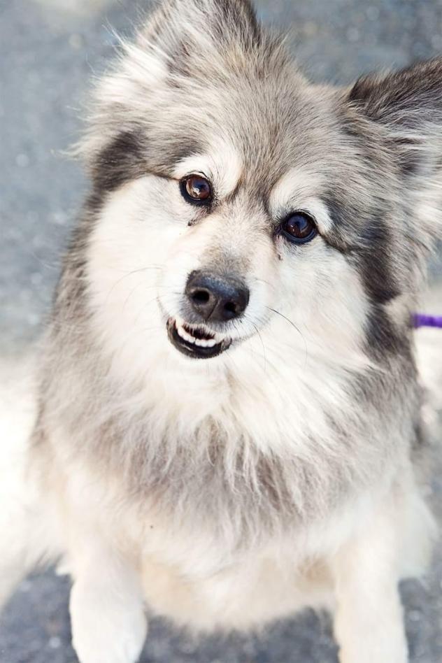 Adopt Dakota On American Eskimo Dog Dogs Dog Mixes