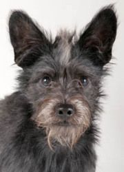 Adopt Walter On Scottie Dog Dogs Terrier Mix Dogs