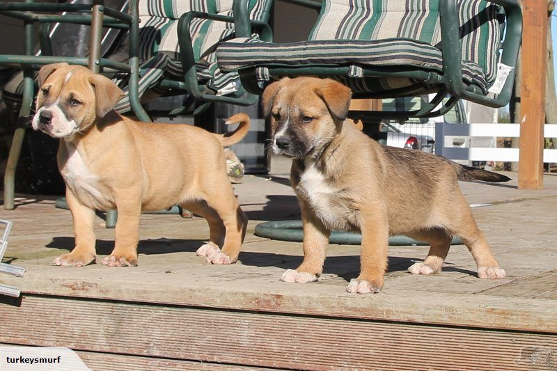 Bull Kita Puppies Bulldog Dog Dogs Dogs For Sale