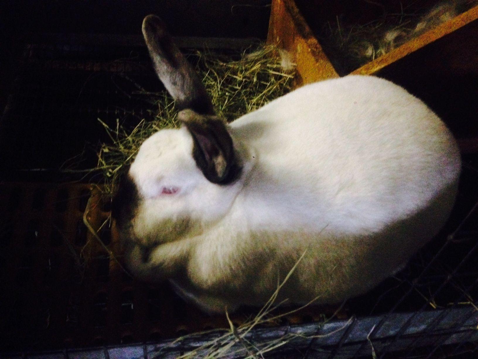 Homestead 4 H Rabbits