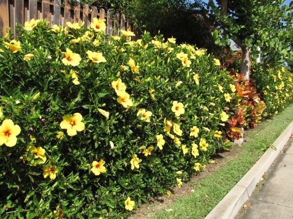 2 Hardy Hibiscus Flowers That Grow In Sweden Yellow Grow Winter And Summer Hibiscus Garden Hibiscus Bush Tropical Landscaping