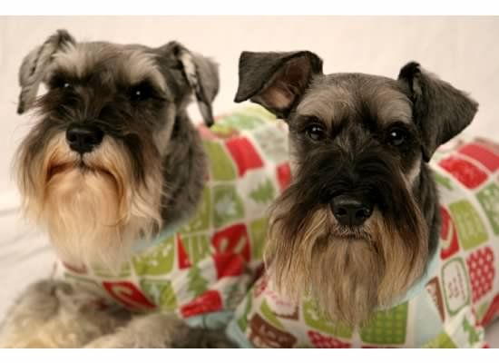 Meet Awesome Amp Incredible Schnauzers For Adoption A Petfinder Adoptable Schnauzer Dog Raleigh Nc You Must Be A North Car Schnauzer Dogs Schnauzer Dogs
