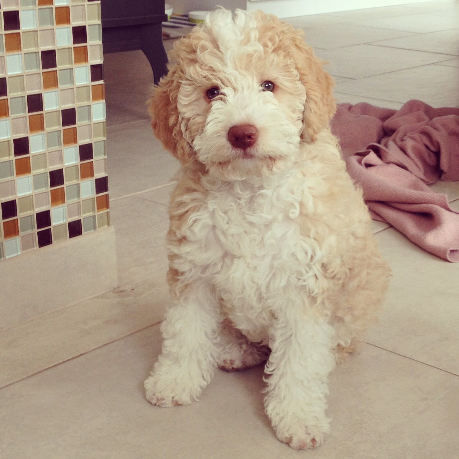 My Sweet Camelia Lagotto Romagnolo Instagram Cosmolikesfashion Hunde Tiere