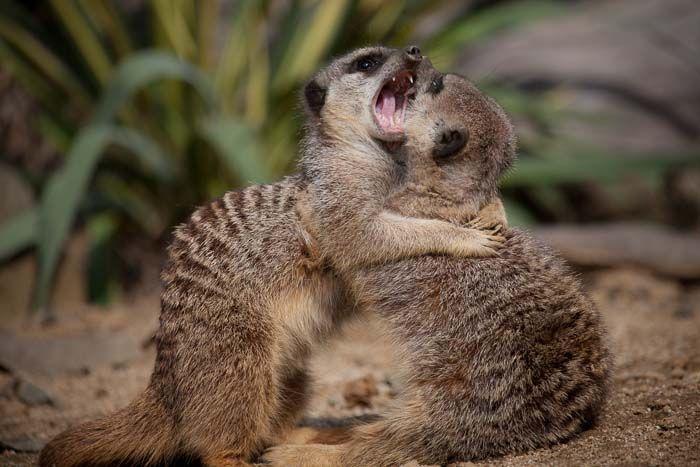 Meerkat 11 Mar 2014 ほのぼのと可愛いミーアキャット 兄弟で遊んでた 意外にも犬歯の鋭さに やっぱり雑食動物だなぁ ミーアキャット 動物 可愛い