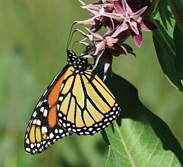 Plant milkweed to help the Monarch