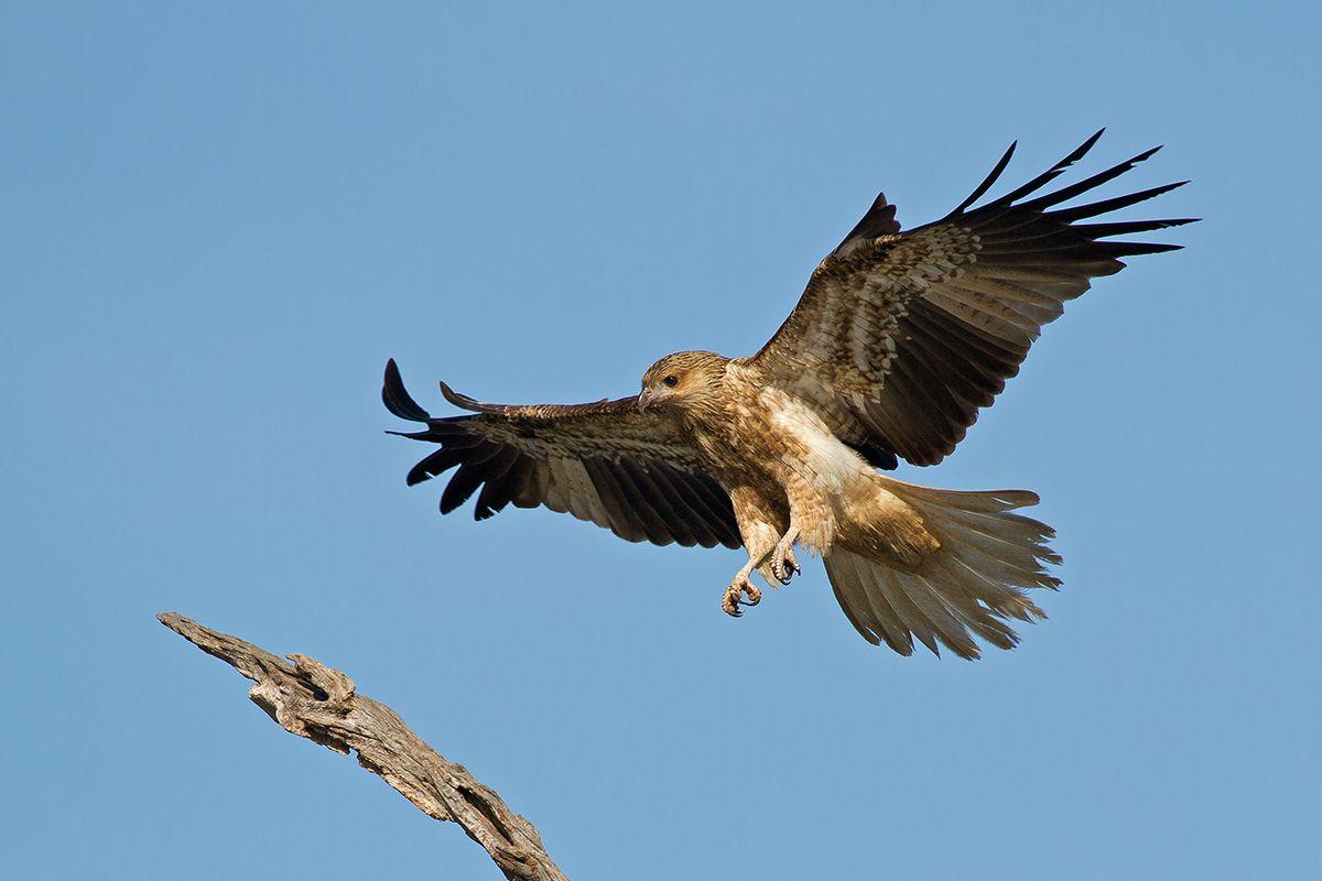 whislting-kites-of-joyces-creek_13-05-06_27-crop.jpg (1200×800)