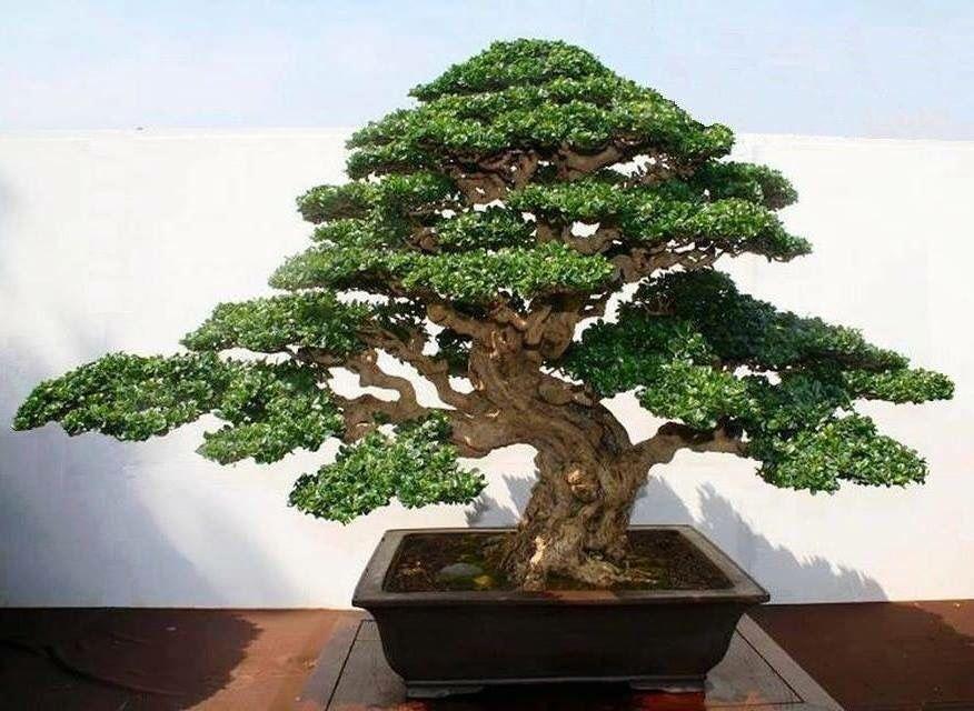 Fukien Tea Bonsai Tree Bonsai Trees For Sale Bonsai Tree Types