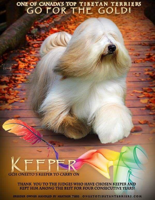 Pin By Heather Piers On Tibetan Terrier Tibetan Terrier Animals Terrier