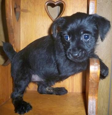 Little Rosa Is A Cairn Terrier Yorkie Mix Ready To Go Leopold