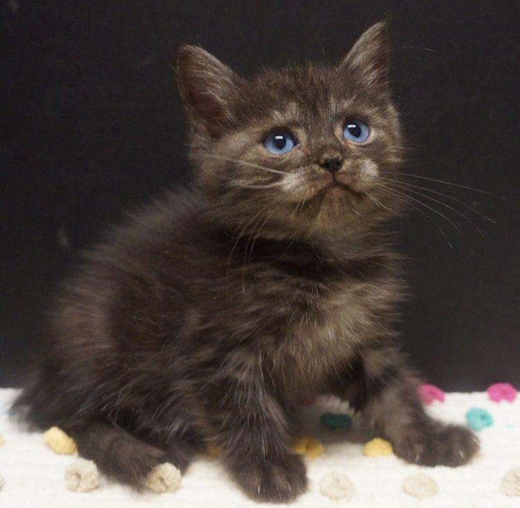 blue eyed ragdoll Kittens cutest, Kittens, Ragdoll