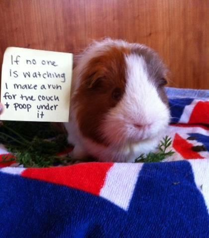 Pin On Guinea Pig Shaming