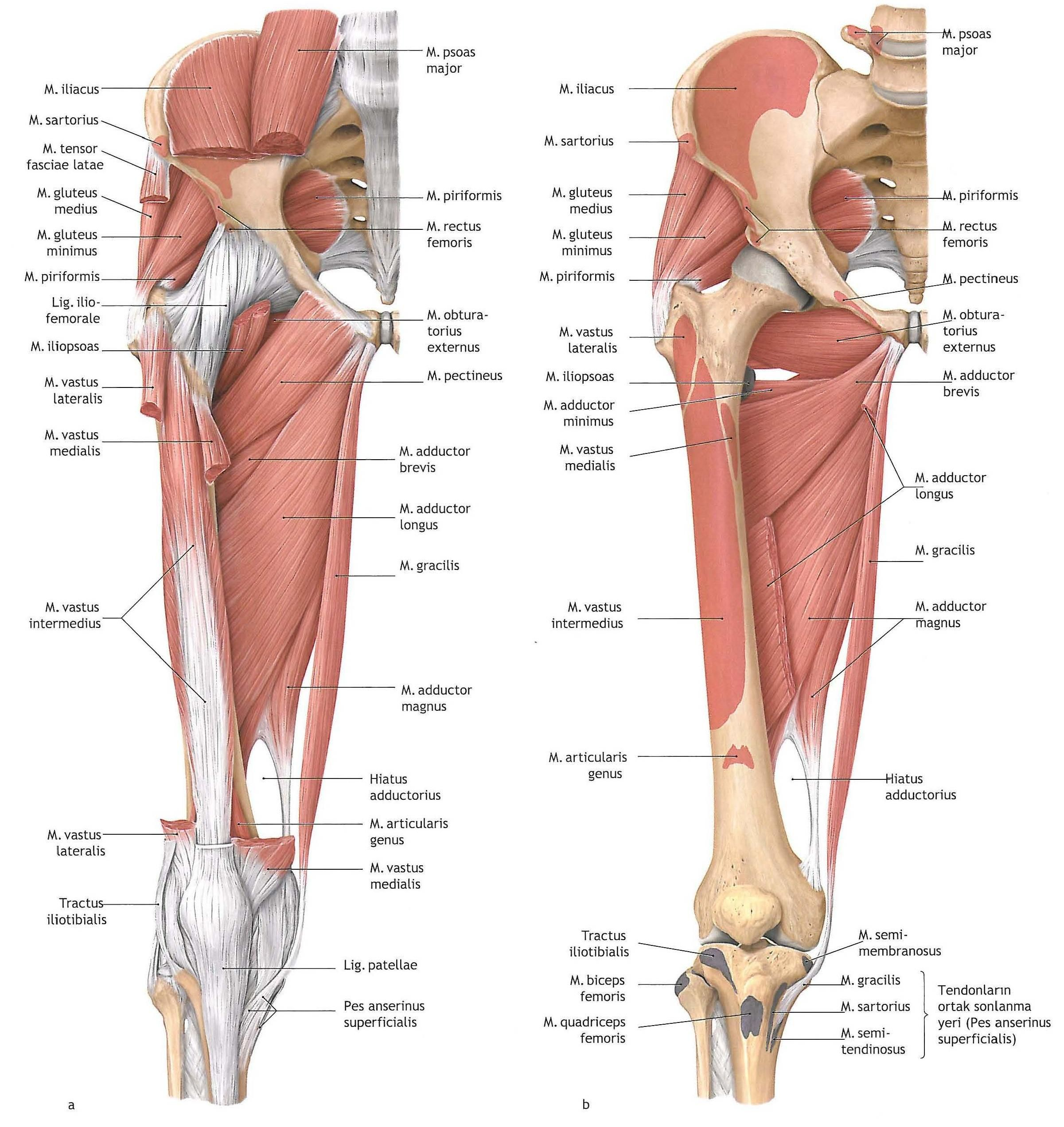 Anatomy Of Lower Leg Muscles Collection Muscles Of Lower Leg ...