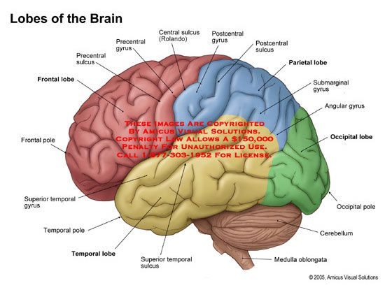 Frontal Lobe Diagram.Lobes Of The Brain Anatomy Brain Diagram Brain Anatomy