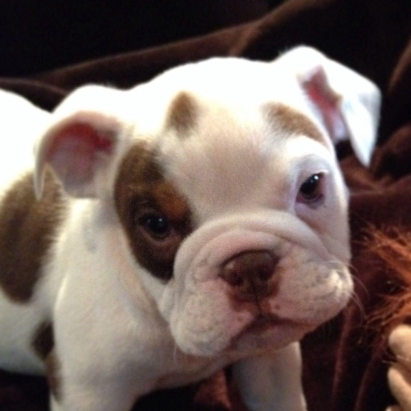 Chocolate Tri Color English Bulldog Bully breeds dogs