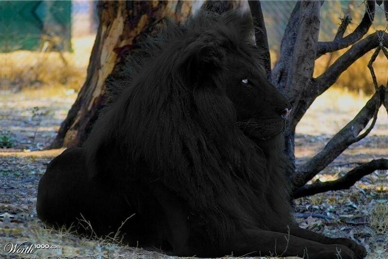 Rare Black Lion Black Lion Melanistic Lion Animals
