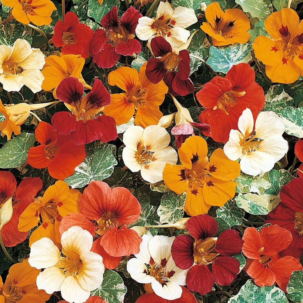 Buy Nasturtium Seeds UK Order Flower Seed Thompson