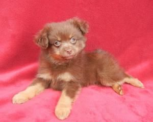 Adopt Cubby 3 Lbs On Dachshund Mix Puppies Adoptable Dachshund
