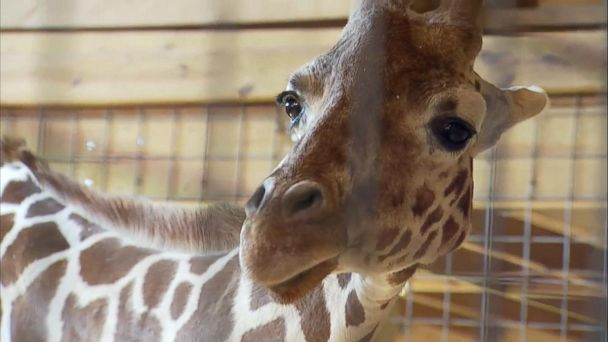 Name Of April The Giraffe S Baby Revealed On Gma Video Abc News Animal Adventure Park Giraffe Baby Giraffe