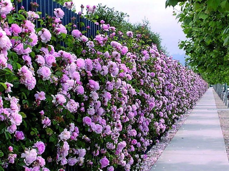 Siepe di rose rose garden pinterest rose siepi e giardini