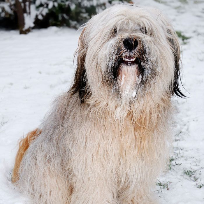 Tibetan Terrier withstands extreme climate of Tibet, with snowshoe like feet, companion for outdoor adventures and sitting on the couch, good luck charms, watch dogs and love to climb.