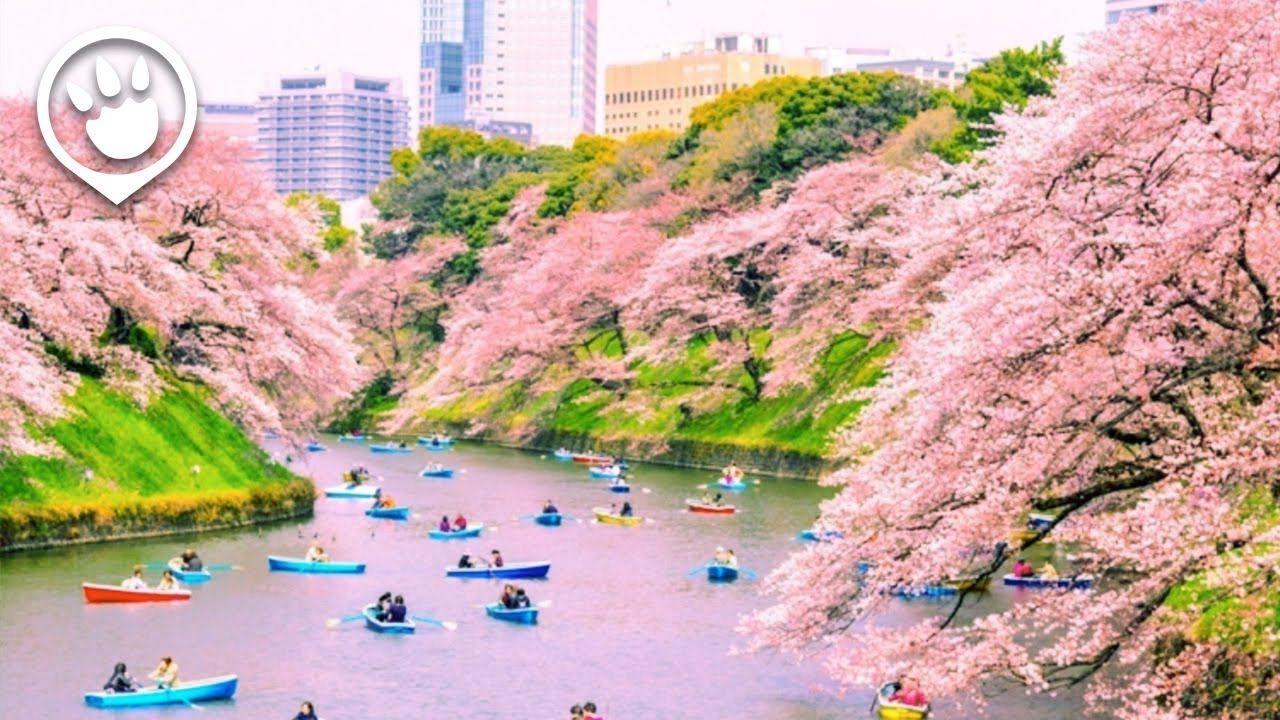 Cherry Blossoms In Japan 2018 Forecast Cherry Blossom Japan Cherry Blossom Hanami