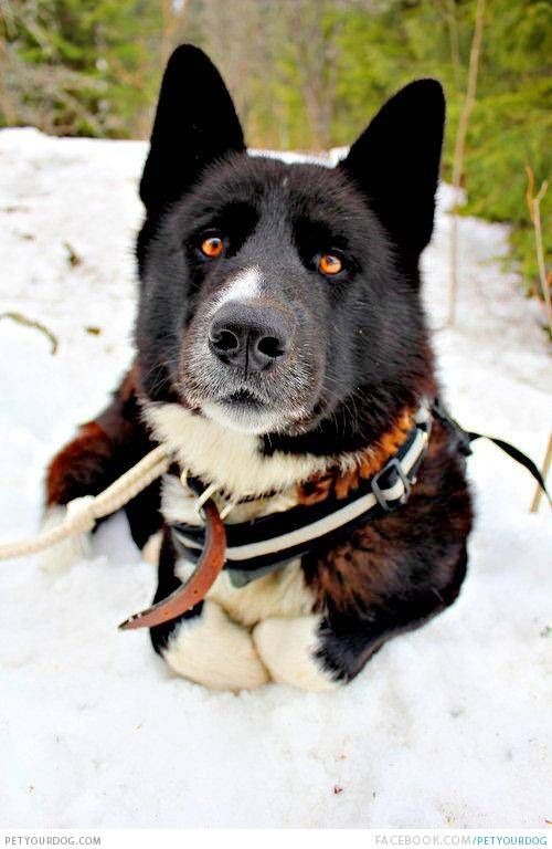 karelian bear dog laying down in the snow