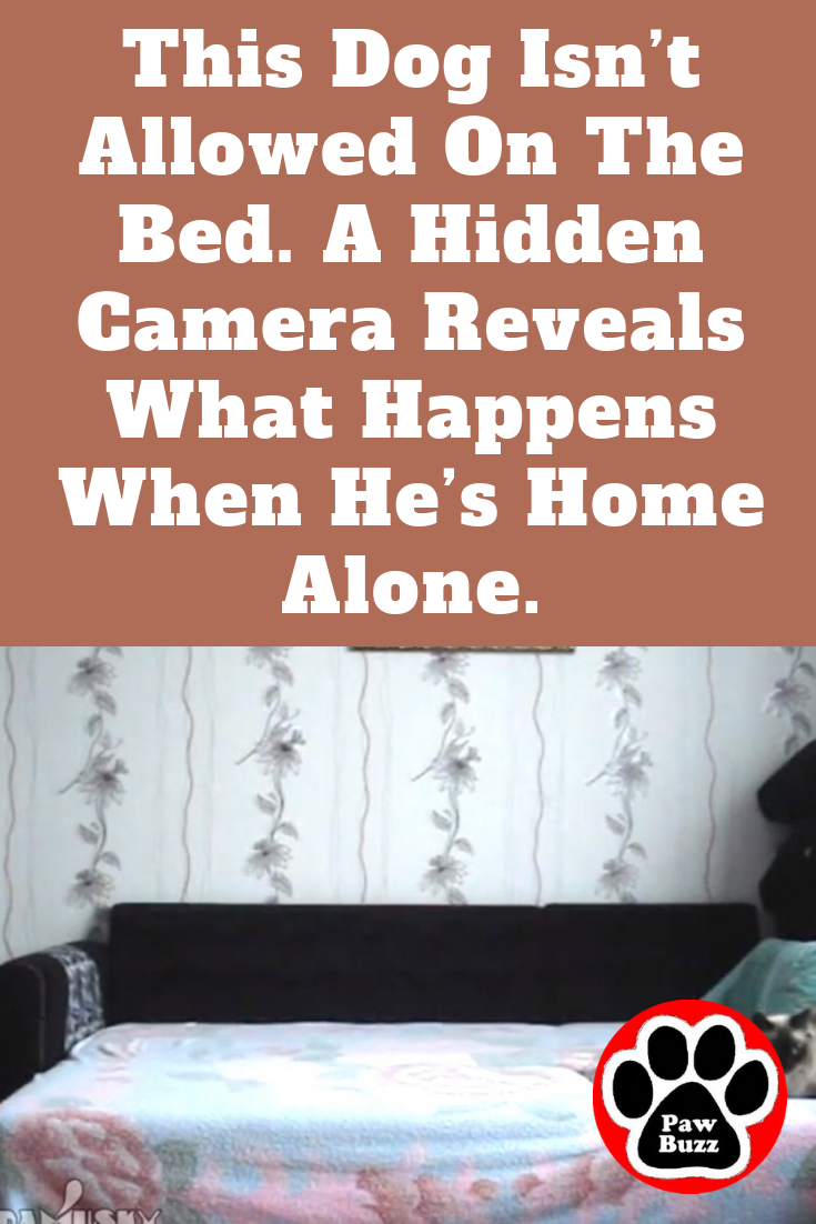 This Dog Isn T Allowed On The Bed A Hidden Camera Reveals