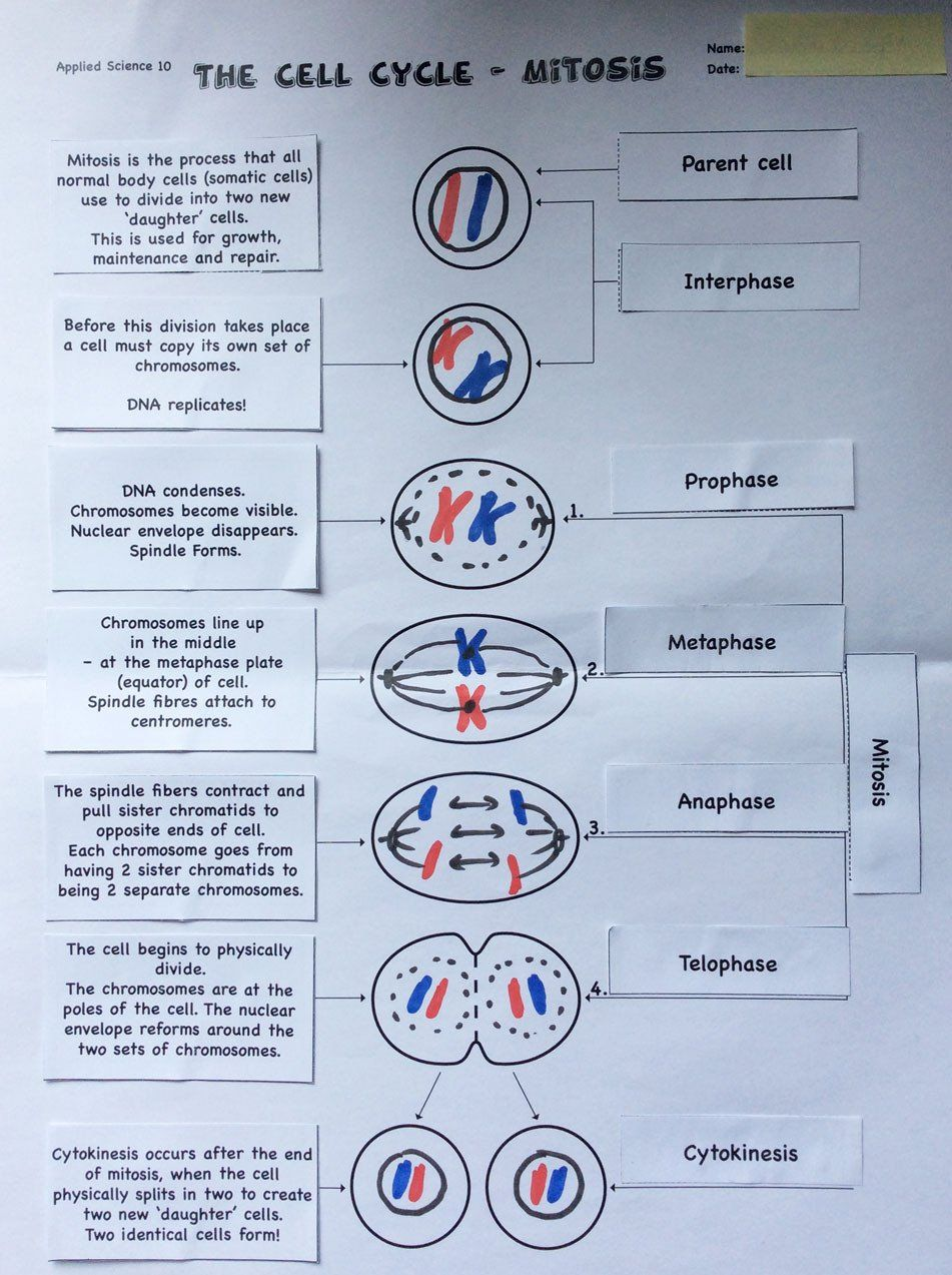 Mitosis Matching Worksheet Answers Approaches to Modifying