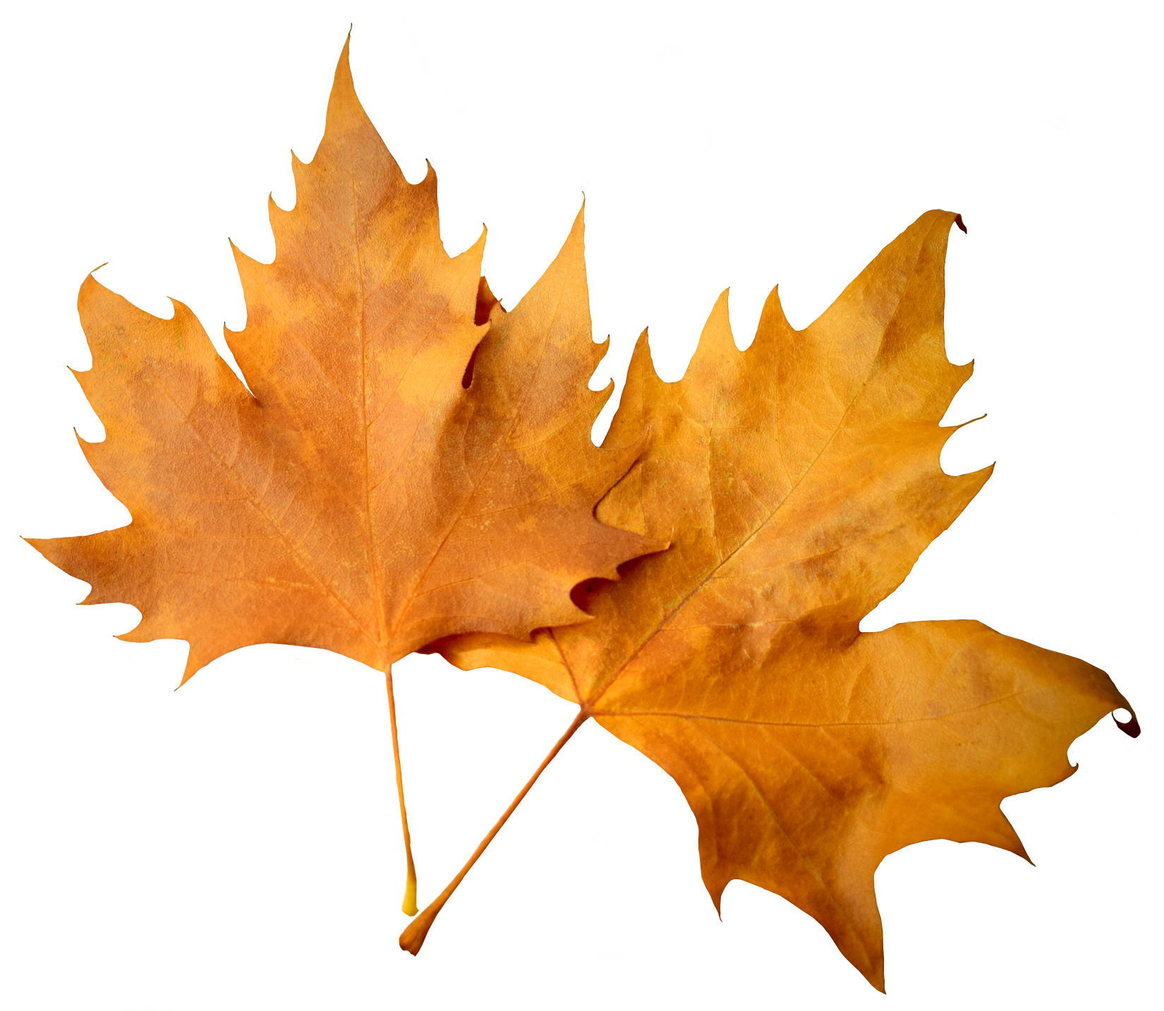Download Falling Leaves Png Images Flying Autumn Leaf Png Free Autumn Leaves Png Fall Leaves Png