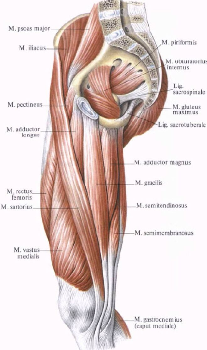 Inside Muscles Of The Thigh Anatomy Gross Anatomy Muscle