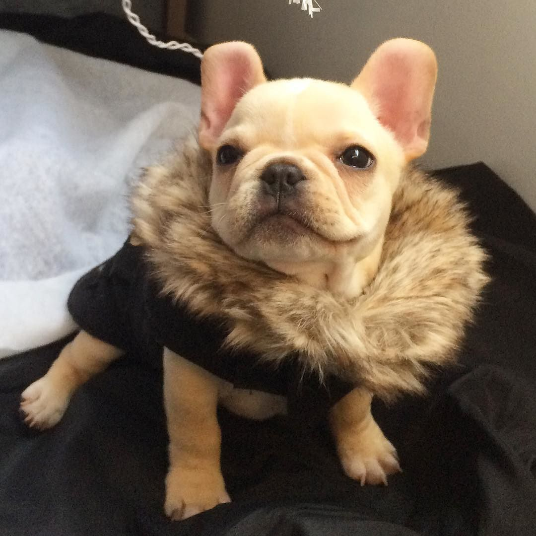 """does this fur make me look fat?"""", adorable french bulldog"""