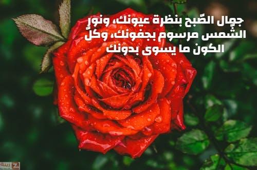 صور صباح الحب والاشتياق صباح الحب والشوق صباح الحب حبيبتي Zina Blog Plants Rose Flowers