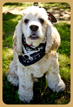 Adopted Bailey Cocker Spaniel Rescue Of Austin And San Antonio