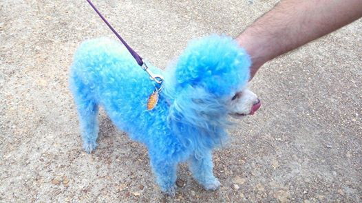 This little poodle was a very festive addition to Cenla Pride 2014!