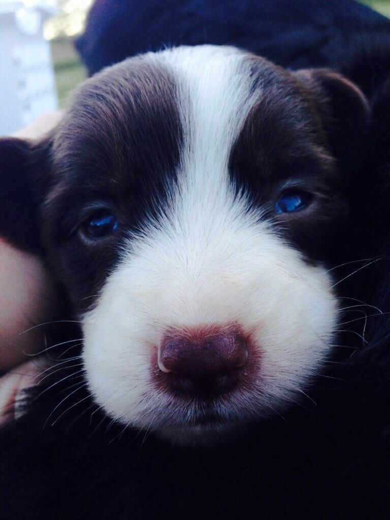 A Cute Border Collie Puppy With Inside A Fancy Gym With Rock