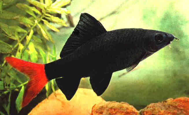 Epalzeorhynchos Bicolor Redtail Shark Tropical Fish Aquarium Aquarium Fish Tropical Fish Tanks