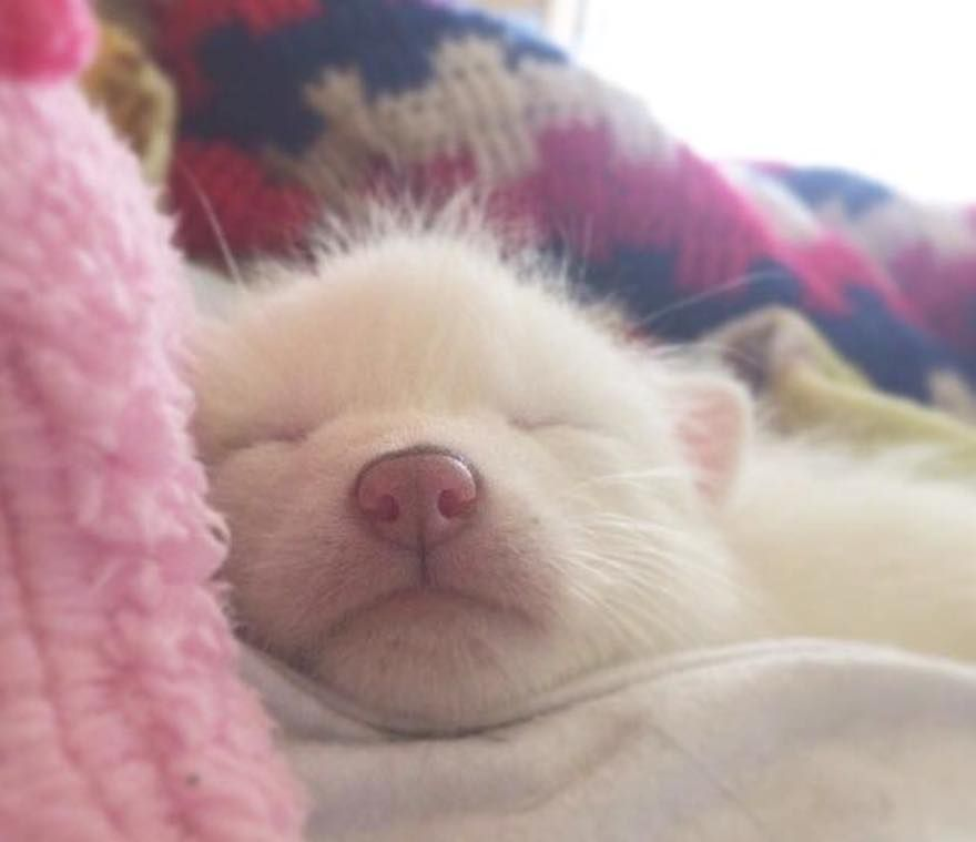 Meet Rylai A Baby Domesticated Red Fox And The Sleepiest Pet Ever - Domesticated baby fox is the cutest and sleepiest pet ever