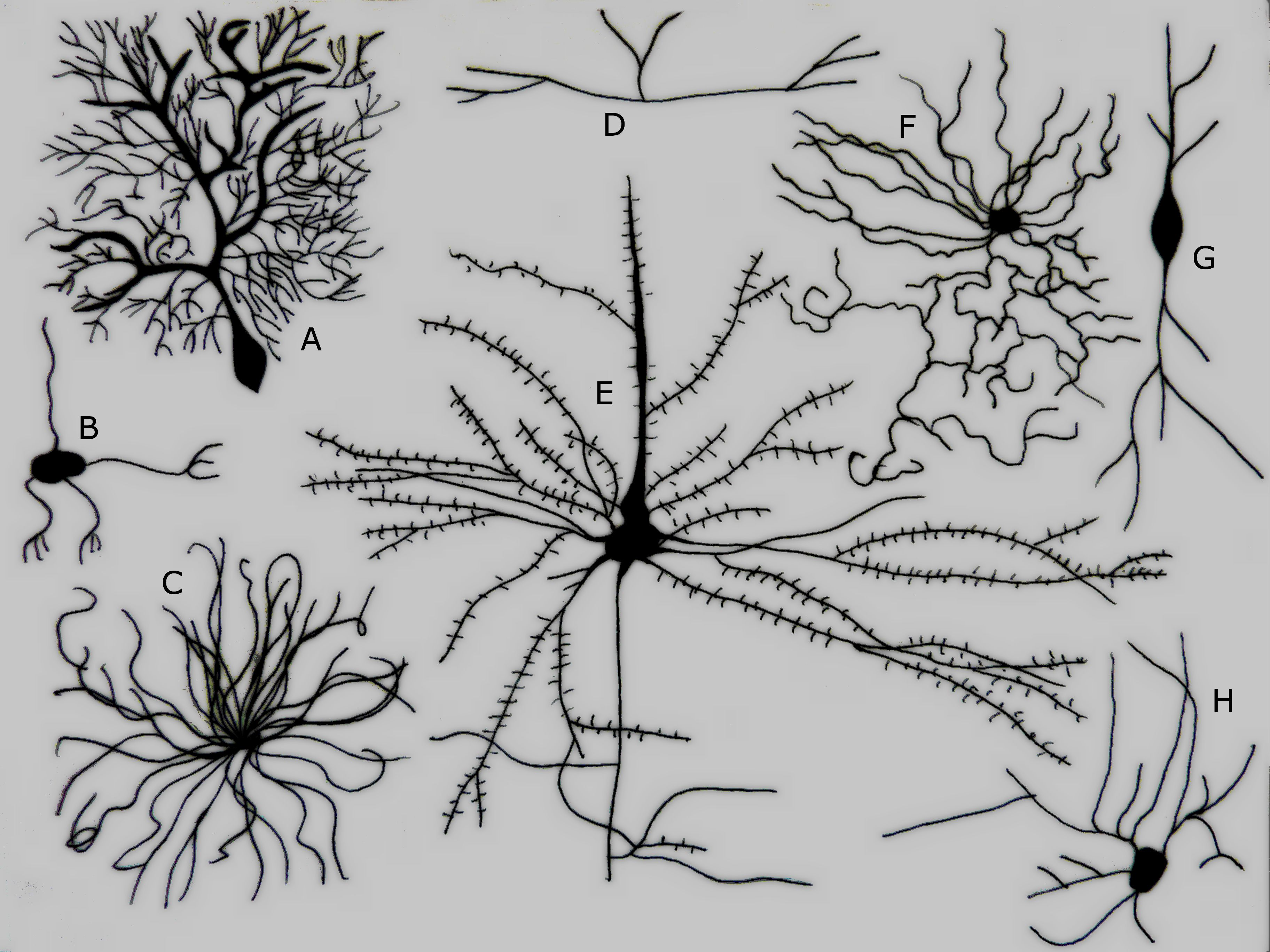 Different types of neurons click to enlarge a purkinje cell b a purkinje cell b granule cell c motor neuron d tripolar neuron e pyramidal cell f chandelier cell g spindle neuron h stellate cell credit aloadofball Choice Image