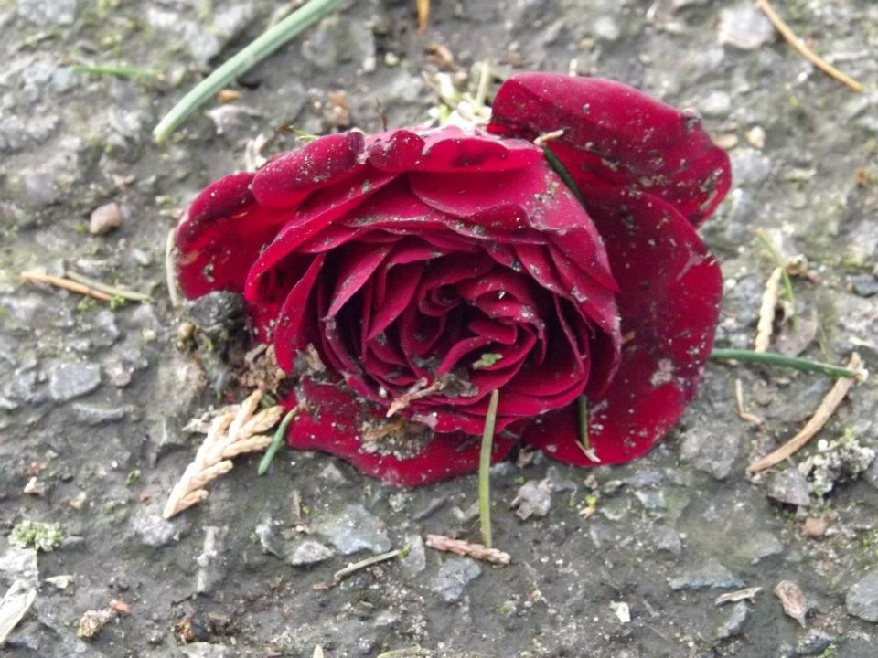Beaten Rose Photograph By Keira Harvey Amature Photography