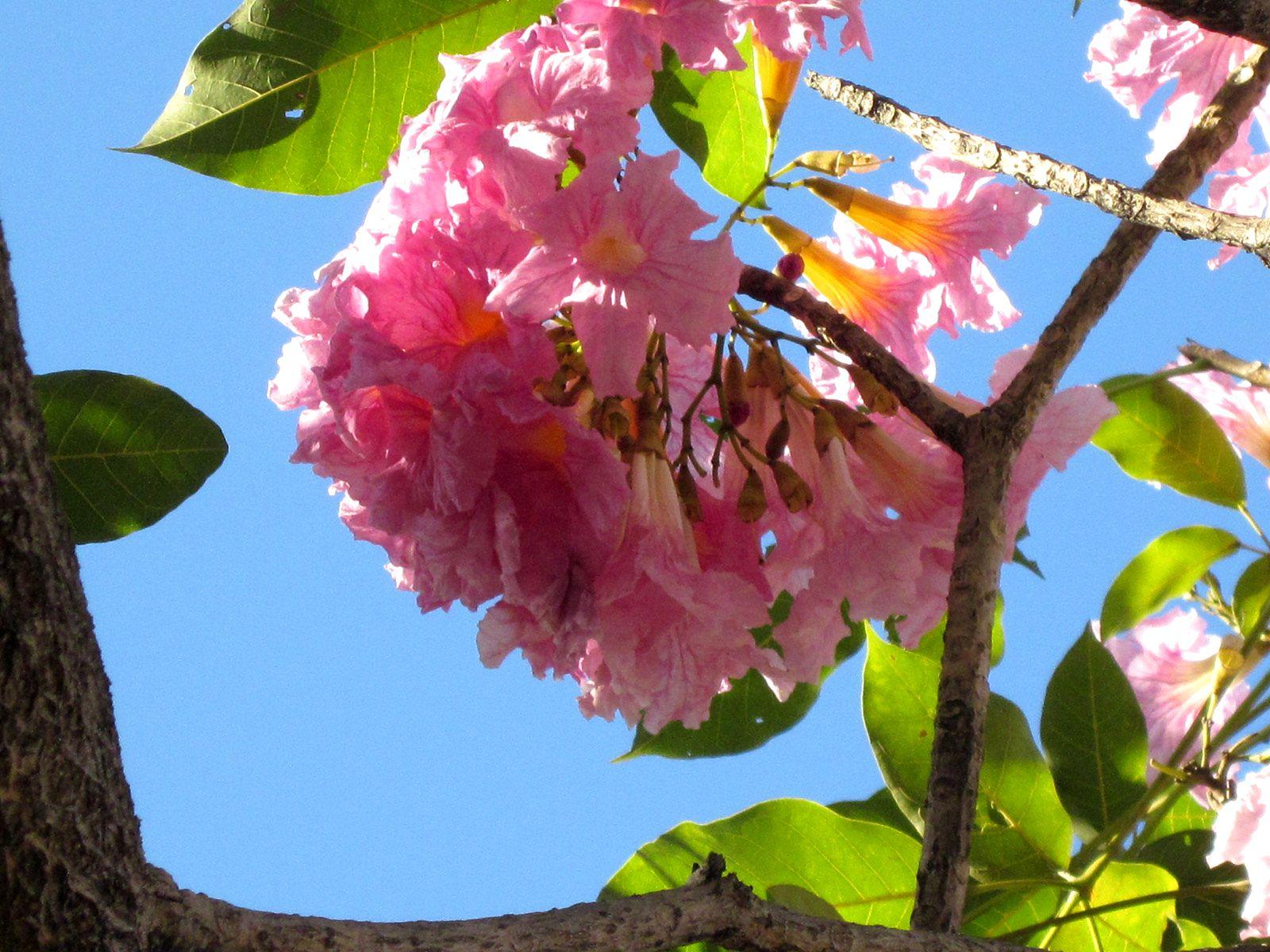 Maquilishuat El árbol Nacional De El Salvador Arboles Jardines Y