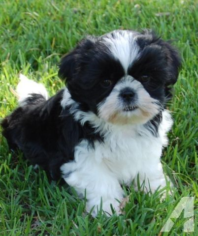 Beautiful Shih Tzu Puppies Available 2 Black White Males Shih