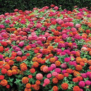 Zinnia Magellan Persian Carpet Mix 395 Garden
