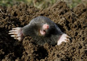 Moles are highly destructive and can ruin a garden and lawn Use