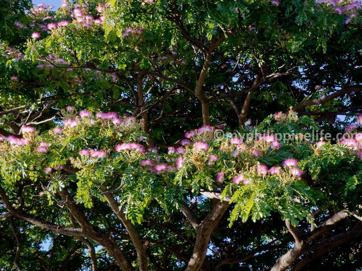 Philippine Trees And Garden Flowers Acacia Tree Flower Garden Flowers