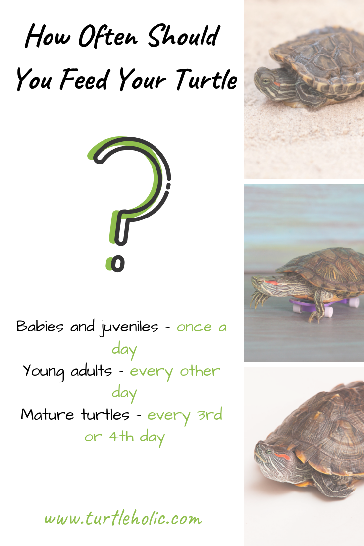 Here Are Some Rough Guidelines For How Often To Feed Your Pet Turtle Feed Babies And Juveniles Turtles Up To 1 Ye Pet Turtle Care Pet Turtle Turtle Habitat
